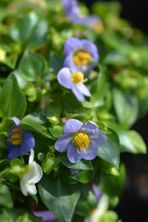 Blue Persian Violet royalty free stock images