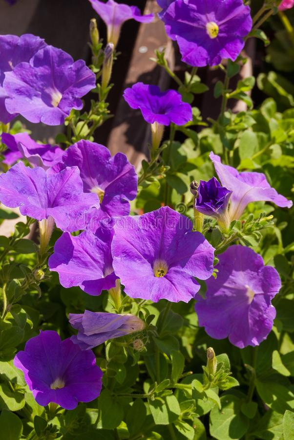 Blue Petunia flower garden for bright colorful landscape backgrounds.  stock image