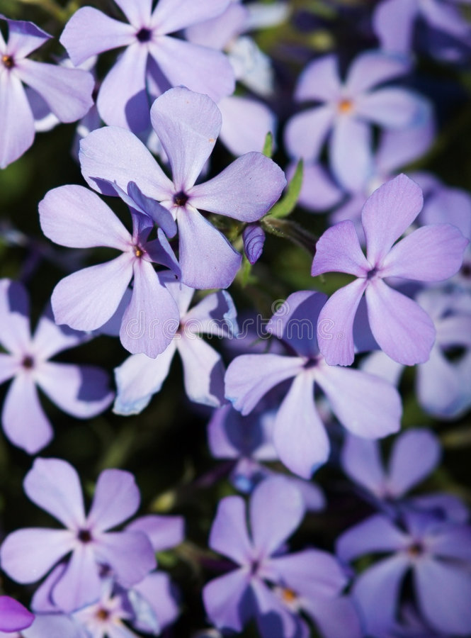 Blue Phlox background. Blue Phlox (Phlox divaricata) as background stock images