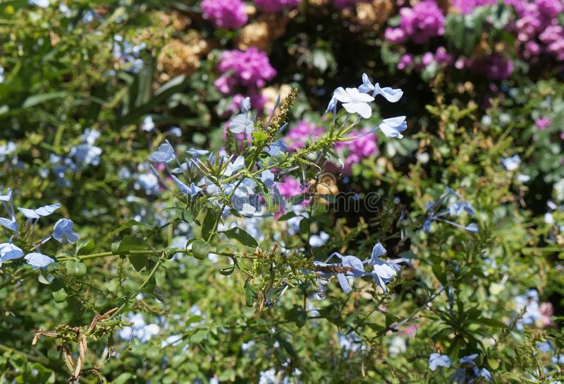 Blue Phlox in bloom. Selective focus, purposely blurred royalty free stock image