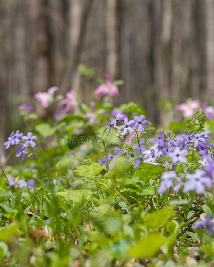 Blue Phlox Blooms Along Valley Trail. In early spring royalty free stock images