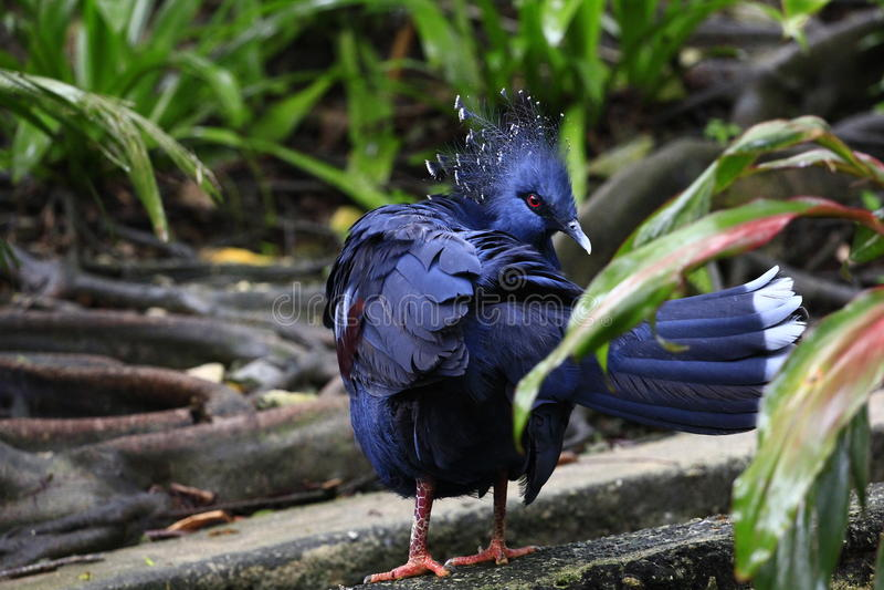Blue Pigeon stock image