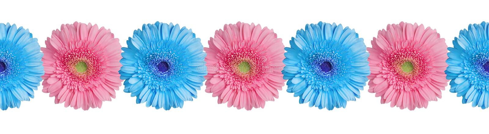 Blue and pink gerbera flowers border on white background isolated close up, gerber flower seamless pattern, decorative frame line royalty free stock images