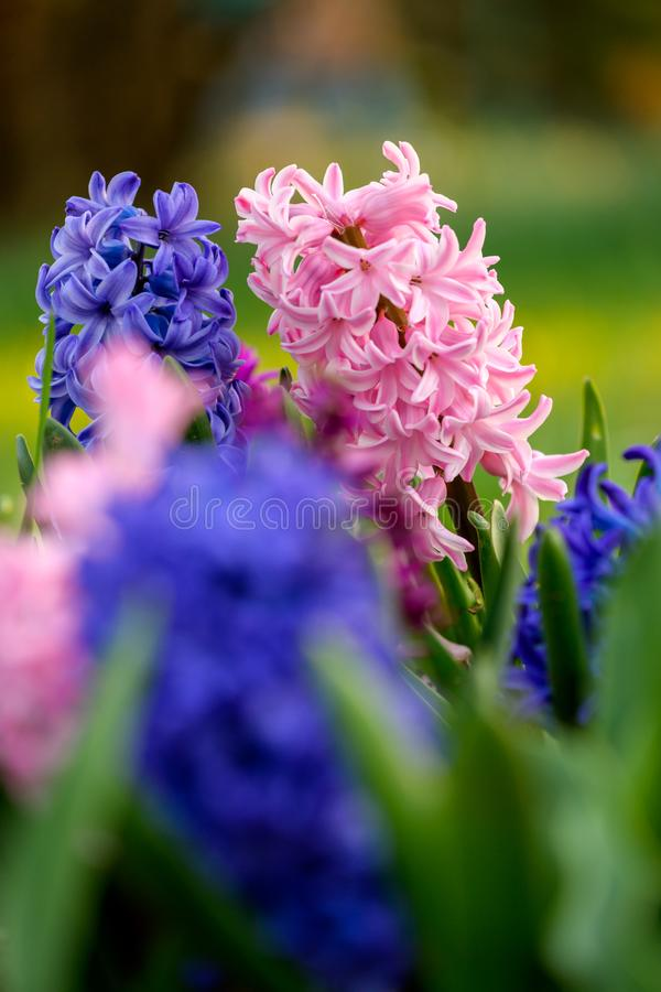 Blue and pink hyacinth close up in Holland garden , spring time flowers stock photos