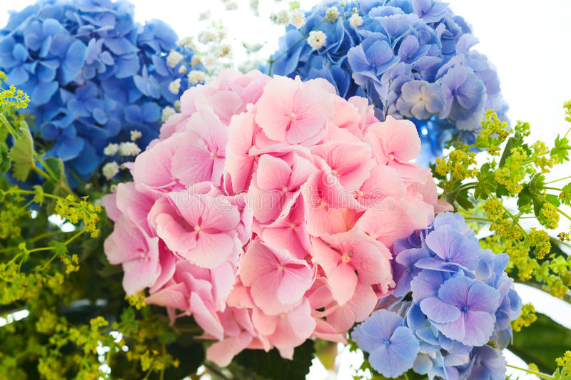 Download Blue and pink hydrangea stock image. Image of botanical - 26631517