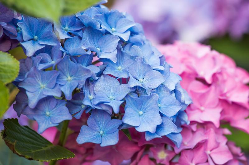 Blue and pink hydrangea flower stock photo