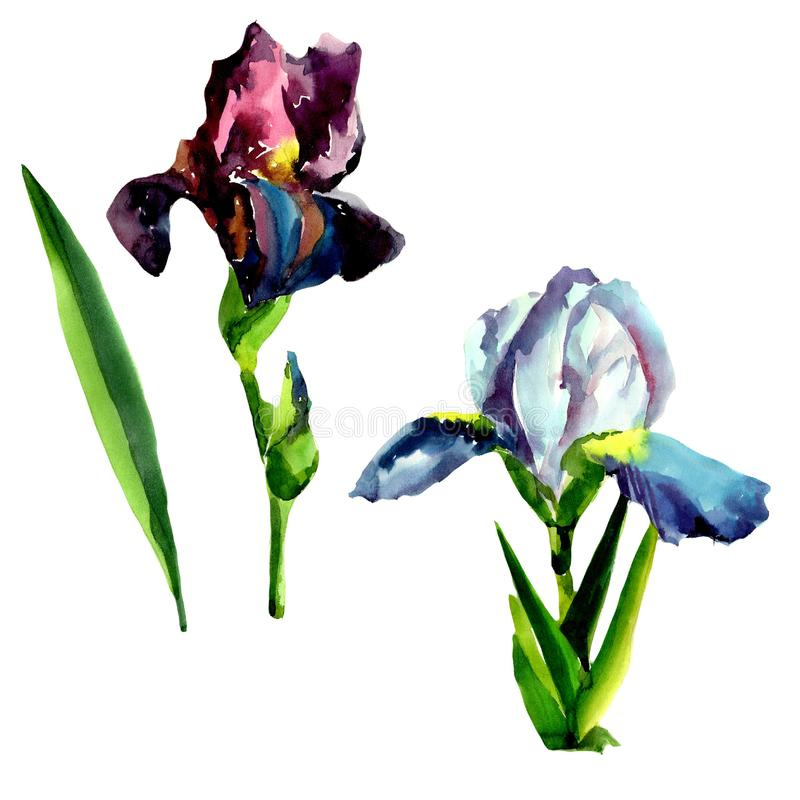 Blue and pink irises. Floral botanical flower. Isolated illustration element. Aquarelle wildflower for background, texture, wrapper pattern, frame or border stock illustration