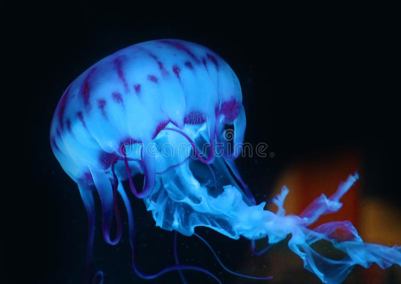 Blue Pink Jellyfish in dark background, beautiful animal. Pink Jellyfish in dark background, beautiful animal. Marine fauna of vibrant colors stock image