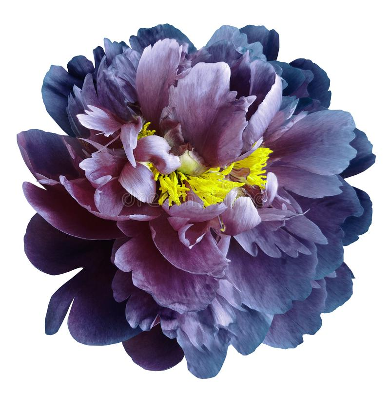 Blue-pink peony flower with yellow stamens on an isolated white background with clipping path. Closeup no shadows. For design. Nature royalty free stock photo