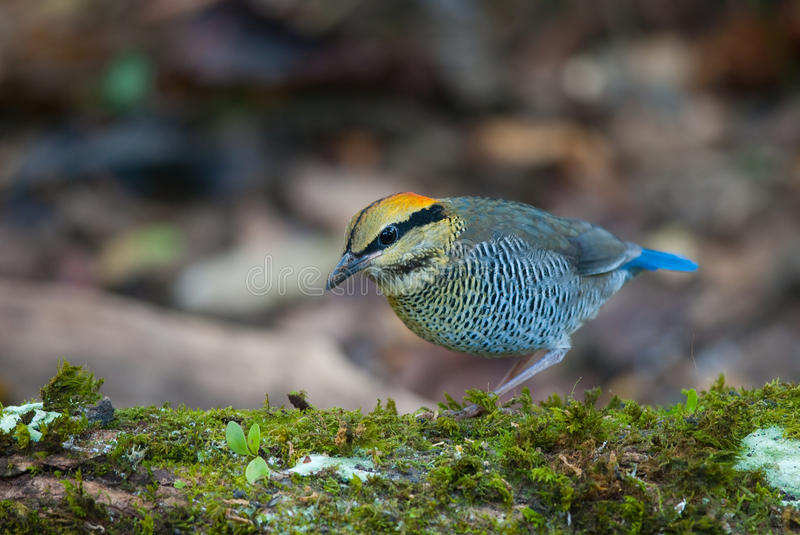 Download Blue pitta stock image. Image of look, birds, outdoor - 18933385