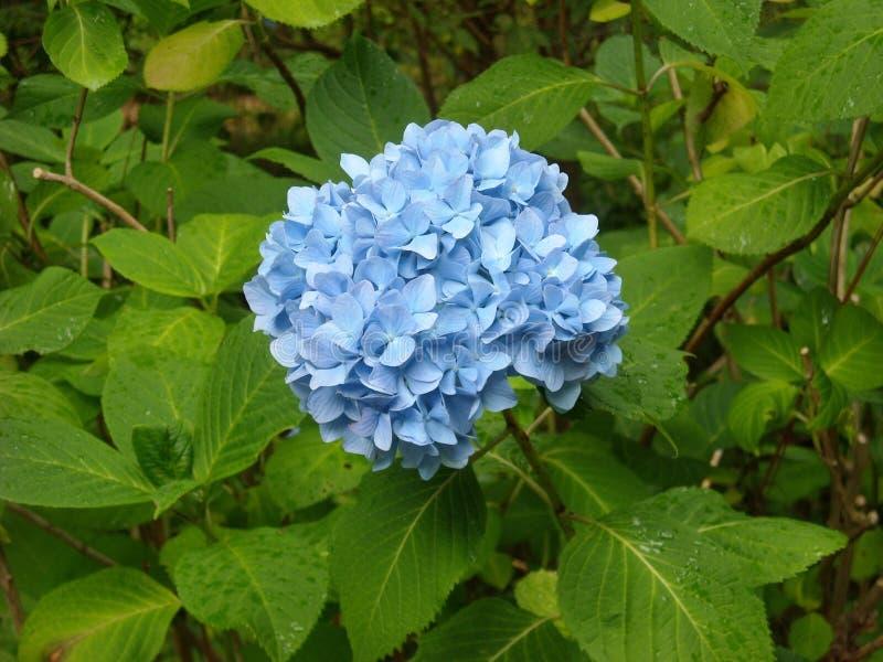 Blue, Plant, Flower, Hydrangea Free Public Domain Cc0 Image