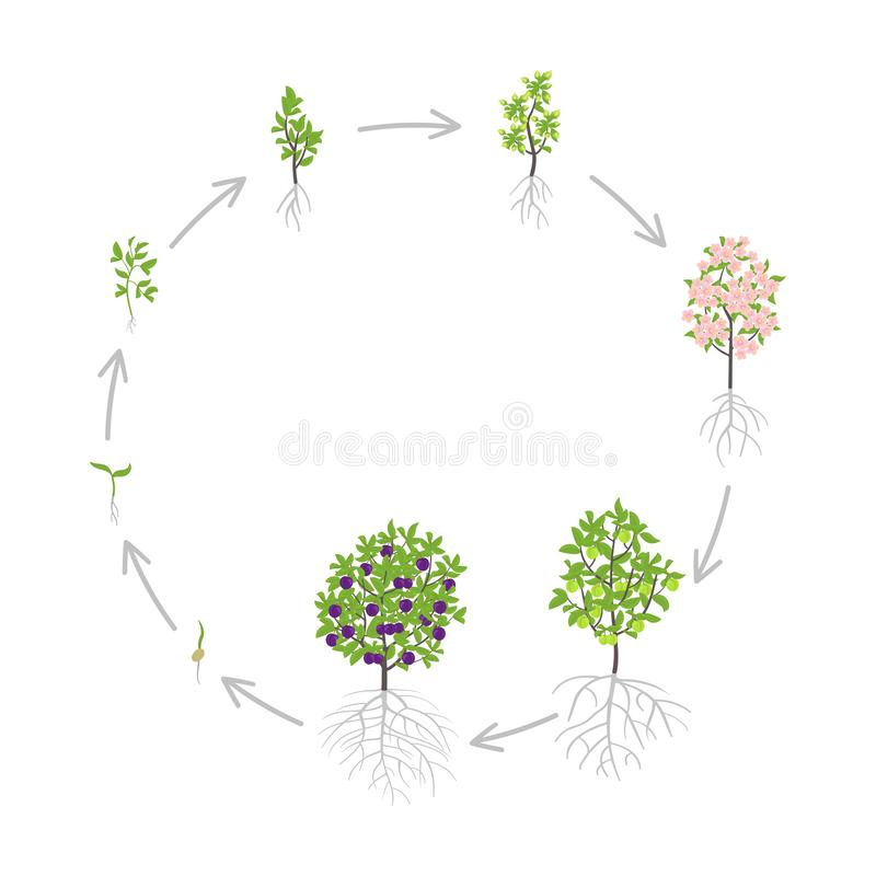 Blue Plum tree growth stages. Vector illustration. Ripening period progression. Damsons fruit tree life cycle animation plant. Blue Plum tree growth stages stock illustration