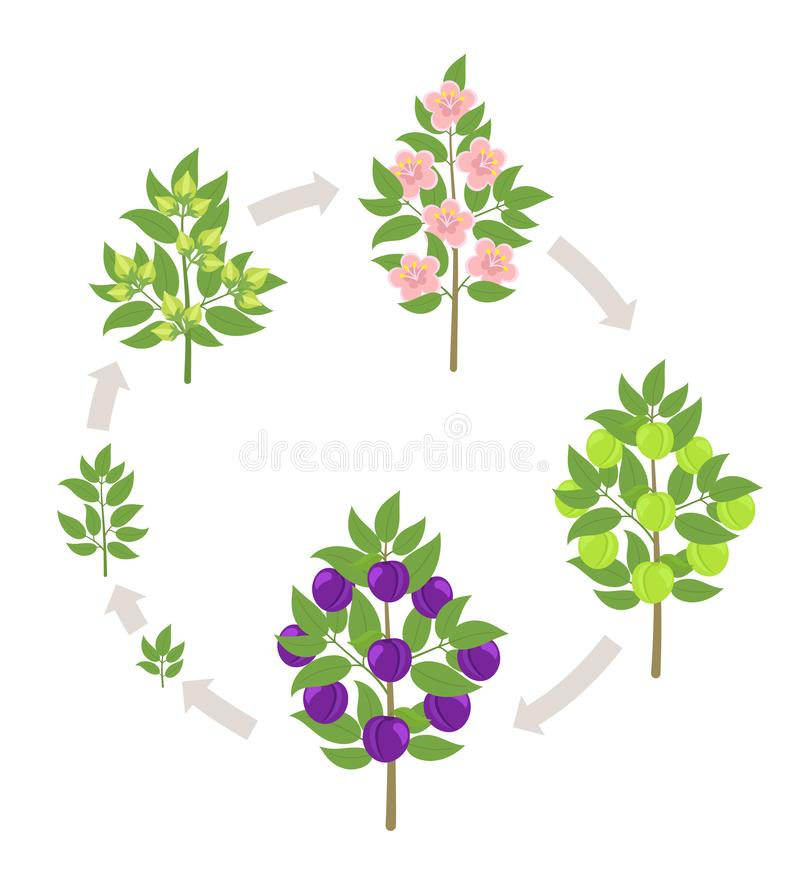 Blue Plum tree growth stages. Vector illustration. Ripening period progression. Damsons fruit tree life cycle animation. Blue Plum tree growth stages. Ripening royalty free illustration
