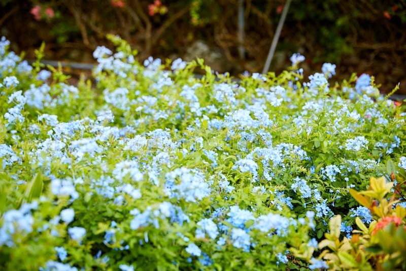 Blue Plumbago Floral Bush in Tropical Garden royalty free stock images