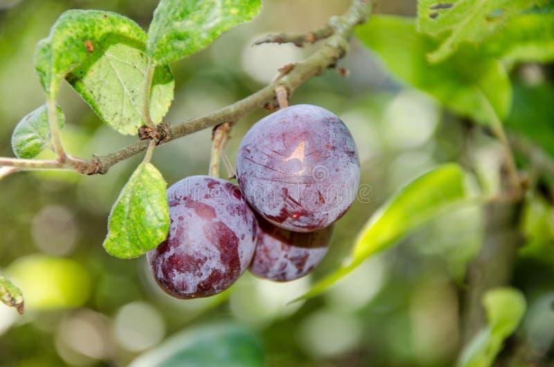 Blue plums on tree stock image