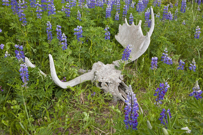 Blue pod Lupine and moose skull with paddles. The sun bleached moose skull rests with the wild flowers royalty free stock image