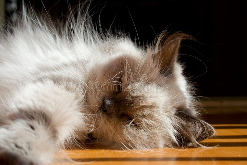 Download Blue point himalayan cat stock photo. Image of white, floor - 183482