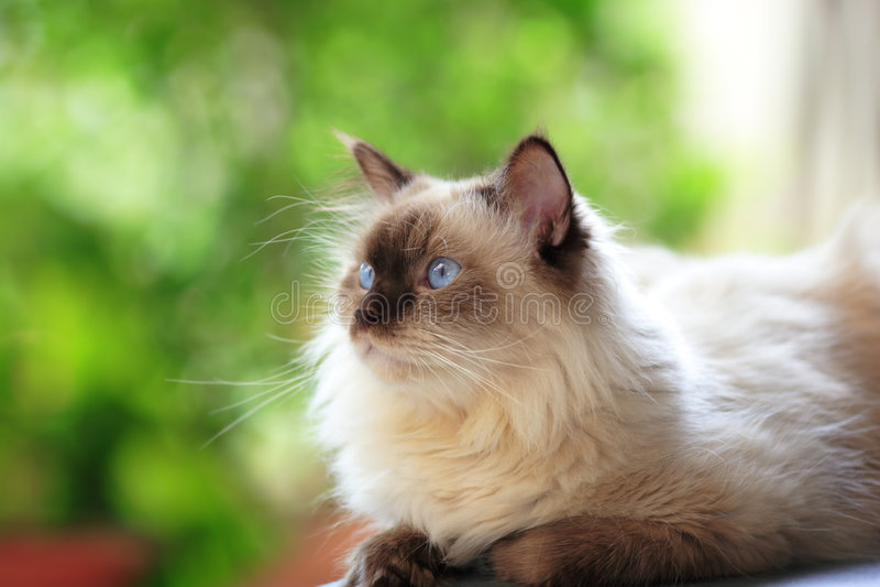 Blue point himalayan cat stock images