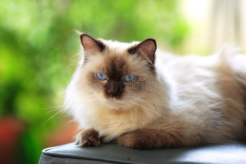 Blue point Himalayan cat outdoor stock images