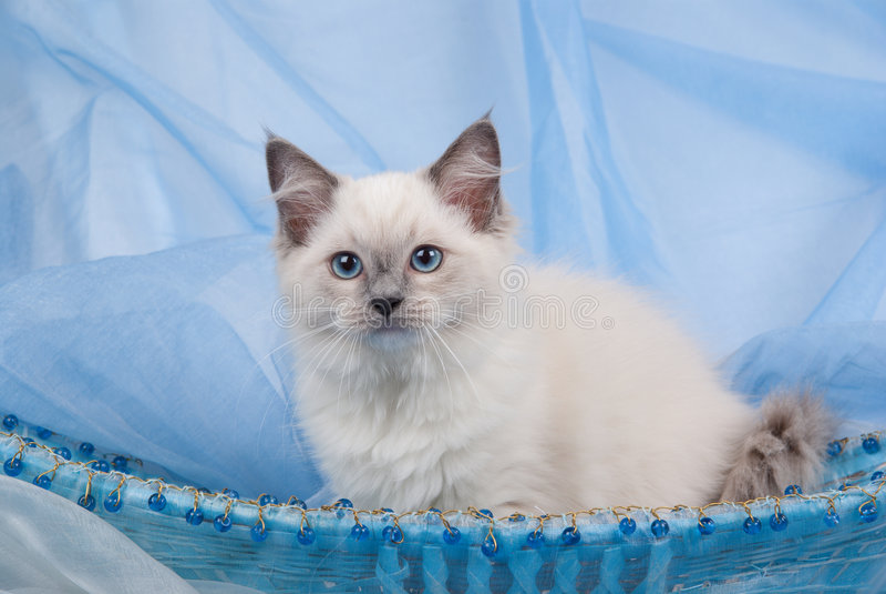 Blue point Ragdoll kitten sitting in blue basket stock photos