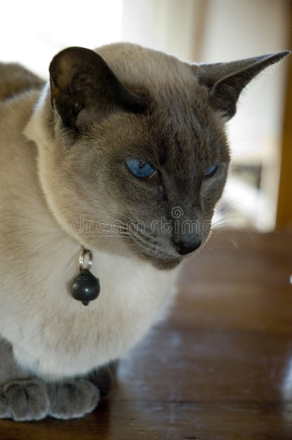 Blue point siamese cat. Portrait of a Blue pointed Siamese cat royalty free stock images