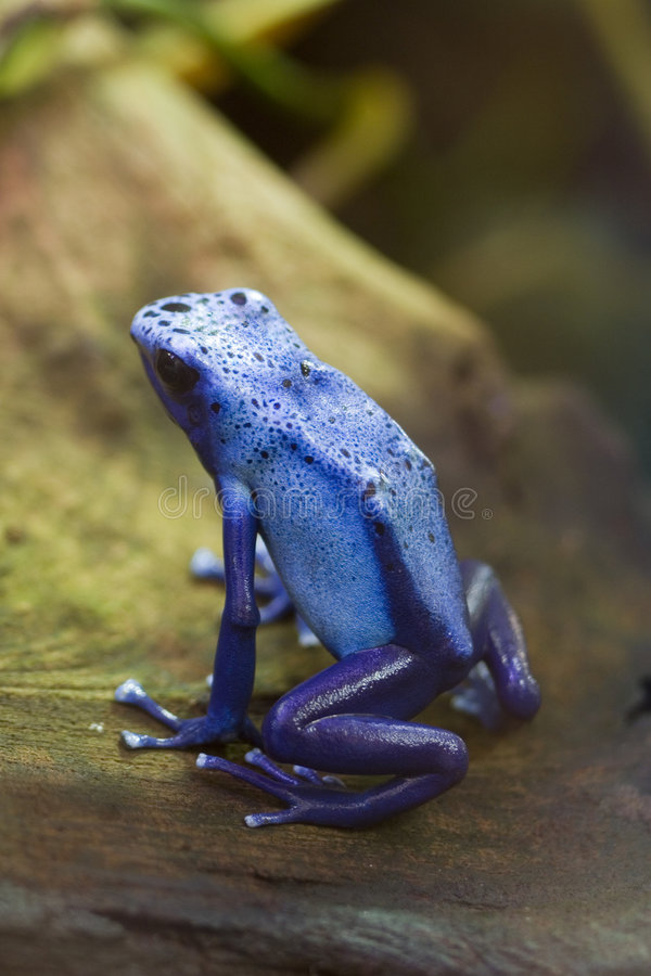 Blue Poison Arrow Frog - Blue Poison Dart Frog - Dendrobates azu. The poison dart frog, poison arrow frog, dart frog or poison frog, is the common name given to stock image