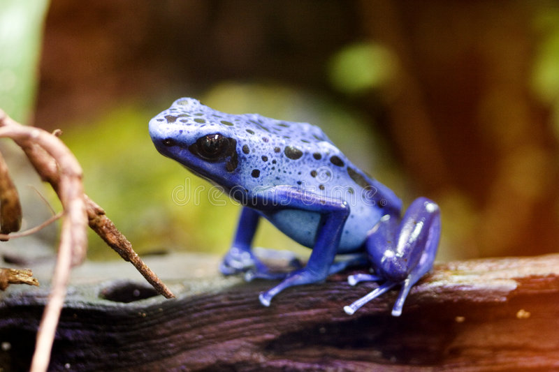 Blue Poison Arrow Frog - Blue Poison Dart Frog - Dendrobates azu. The poison dart frog, poison arrow frog, dart frog or poison frog, is the common name given to stock photo