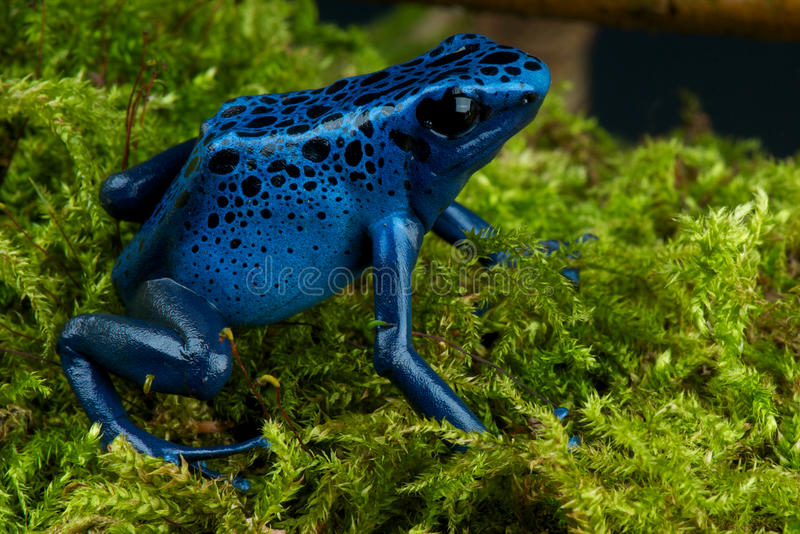Blue poison dart frog royalty free stock photo