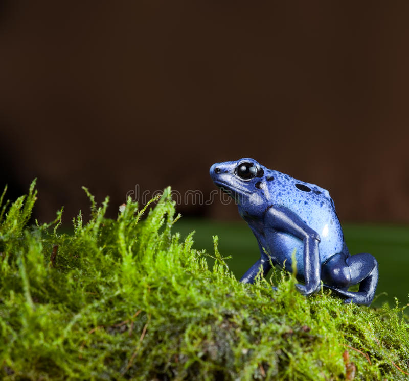 Blue poison dart frog stock photo