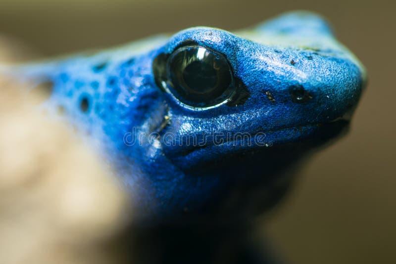 Blue poison dart frog (Dendrobates tinctorius azureus). Head and eyes of amphibian aka blue poison arrow frog, native to Suriname, in family Dendrobatidae royalty free stock image