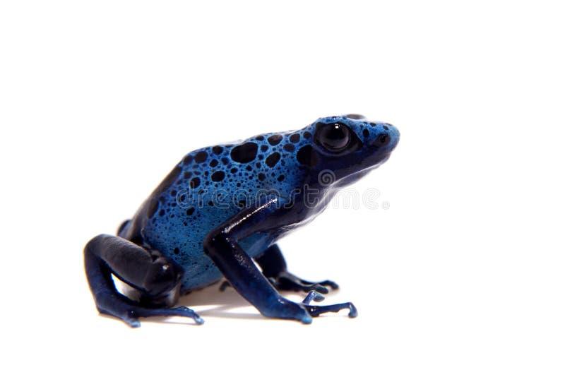 Blue Poison dart frog, Dendrobates tinctorius Azureus, on white stock images