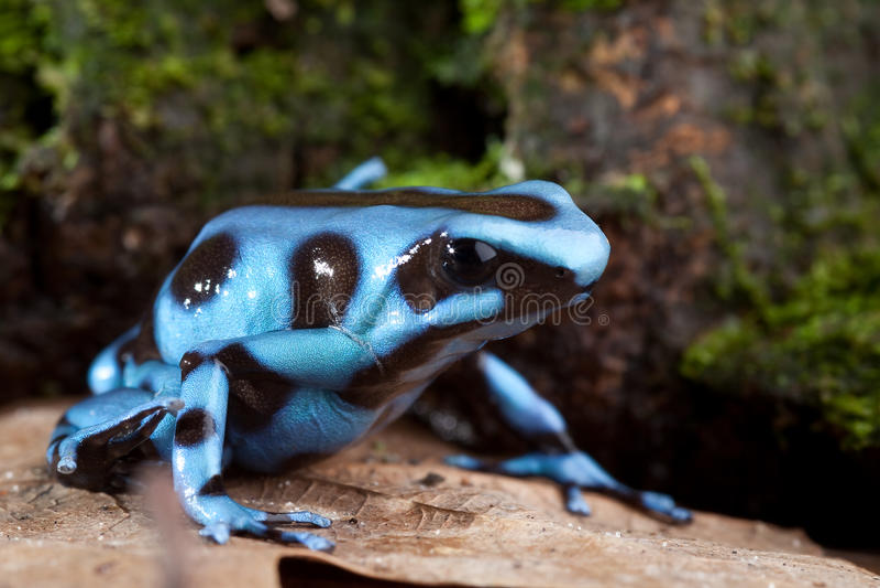 Blue poison dart frog poisonous animal royalty free stock image