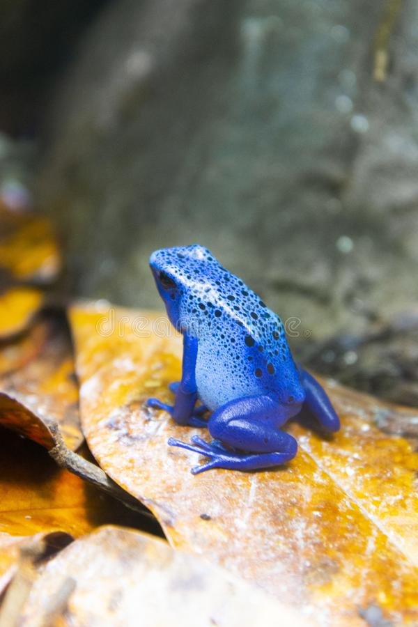 Blue poisonous frog of central america rain forest at the zoo. Blue poisonous frog of central america rain forest, zoo, nature, leaf, eye, animal, color, green stock images