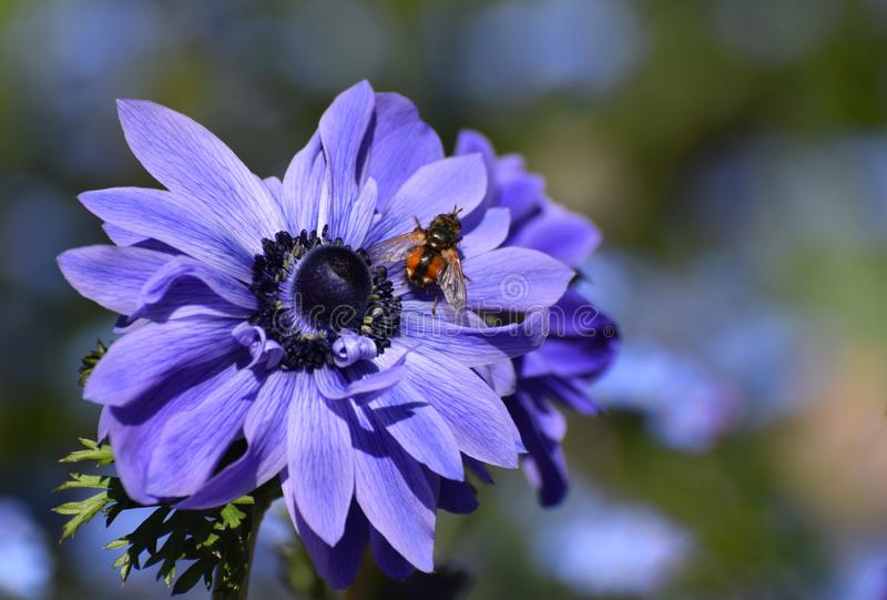 Blue Anemone Flower with a Bee. A bee rests on a dark blue Anemone flower in bright sunshine royalty free stock images