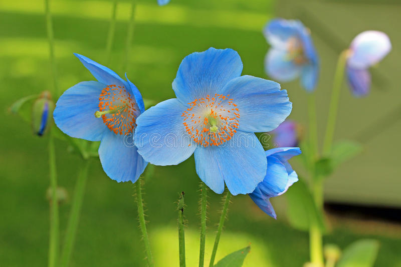 Blue poppy flowers royalty free stock images