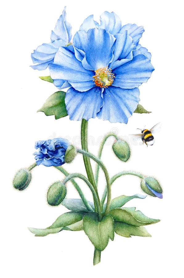 Blue poppy stock illustration illustration of large 102023416 watercolor hand drawn illustration of the blue himalayan poppy flowers with stem buds leaves and a bumble bee isolated on white background mightylinksfo