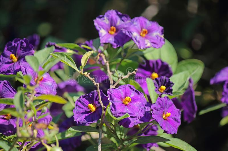 BLUE POTATO BUSH SHRUB WITH PURPLE FLOWERS royalty free stock photos