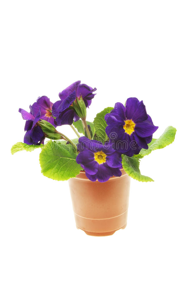 Download Blue primula flowers stock photo. Image of yellow, center - 13565132