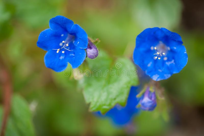 Blue Primula Variety. Beautiful blooming Primula are portrayed in this image with a blurred green meadow background royalty free stock photo