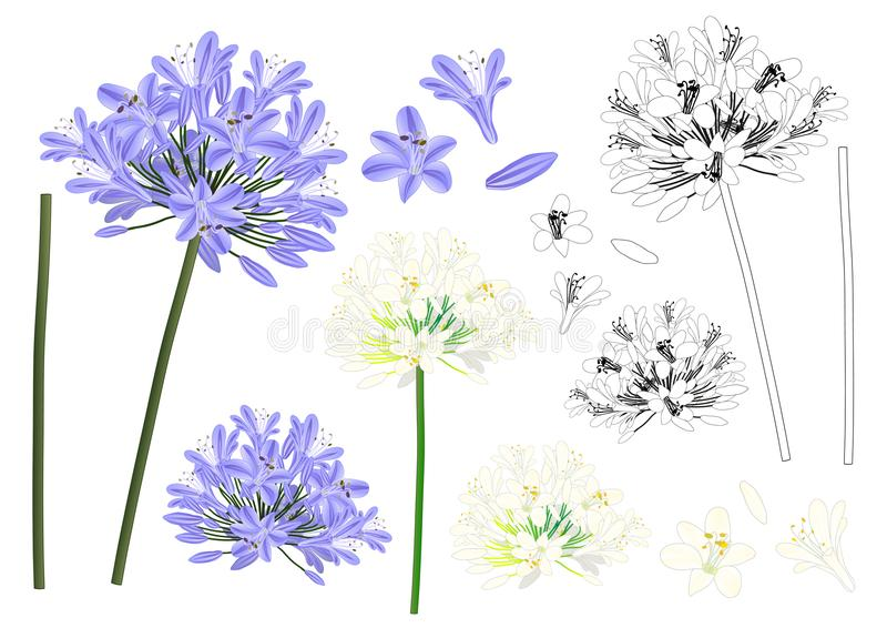 Blue Purple Agapanthus Outline - Lily of the Nile, African Lily. Vector Illustration. isolated on White Background. Blue Purple Agapanthus Outline - Lily of the stock illustration