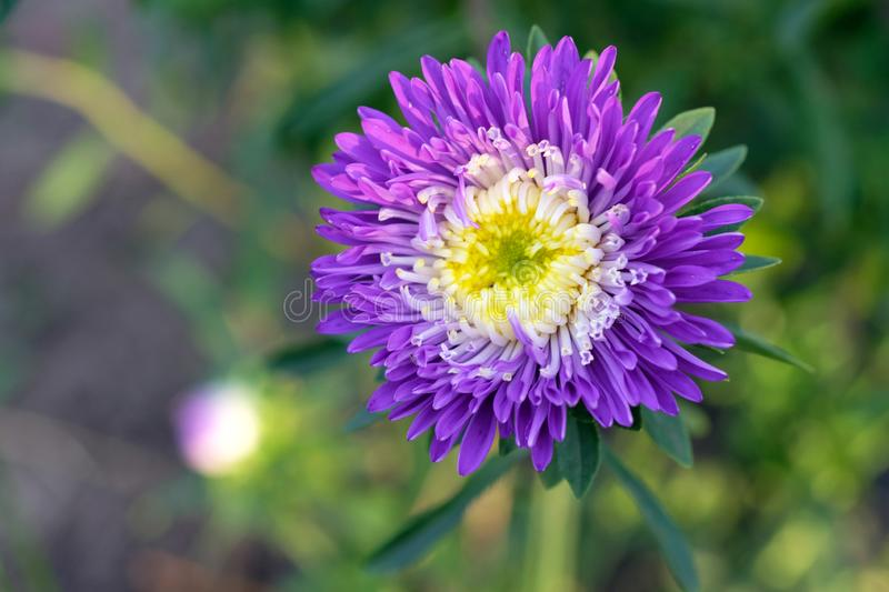 Blue-purple aster flower, close-up. Bright purple aster flower with a white middle in the morning sun. stock photo
