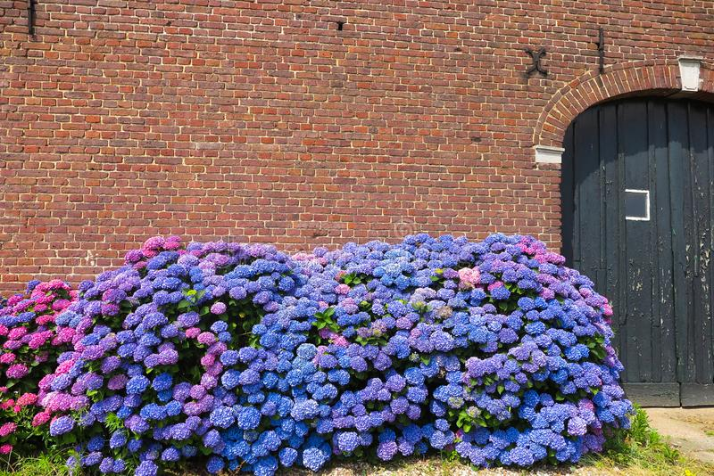 Blue and purple blooming hortensia flowers against red brick wall of old dutch farm house - Netherlands, Venlo royalty free stock photo