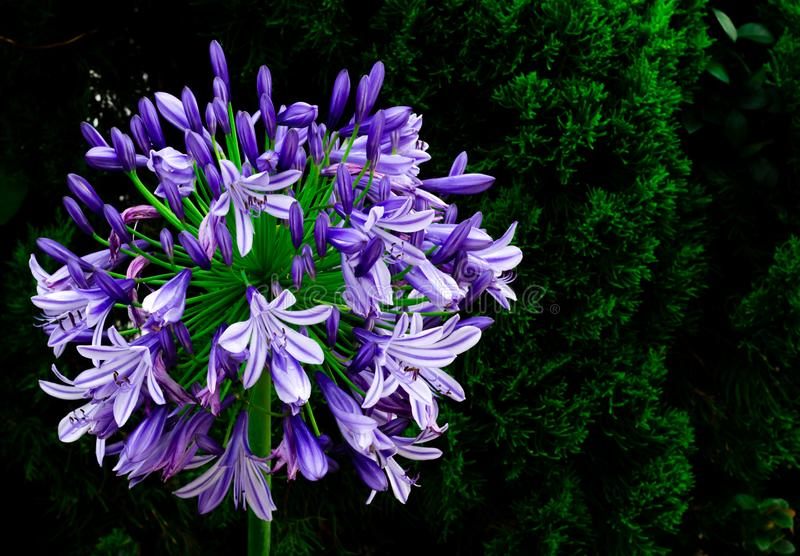 Blue and purple color African Lily Cape blue lily blooming in garden with dark background of pine tree.  royalty free stock photography