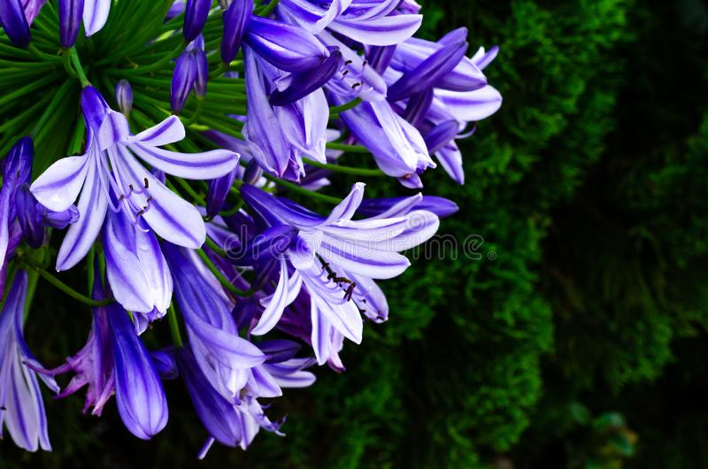 Blue and purple color African Lily Cape blue lily blooming in garden with dark background of pine tree.  stock photos