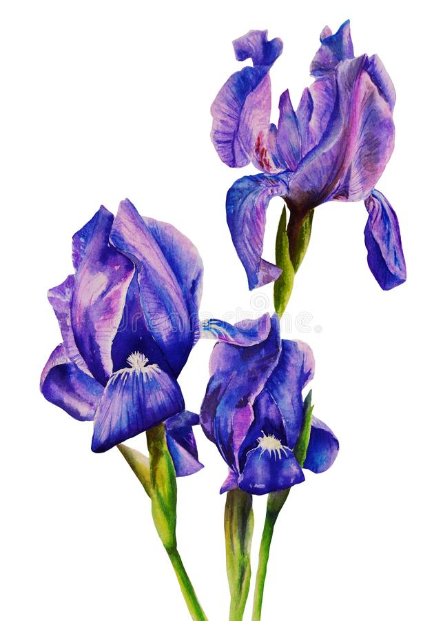 Blue-purple irises on a white background. Isolated. Painted hands watercolor. Realistic painting. Poster royalty free illustration