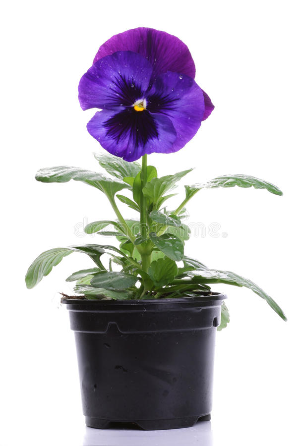 Blue purple pansy isolated over white stock images