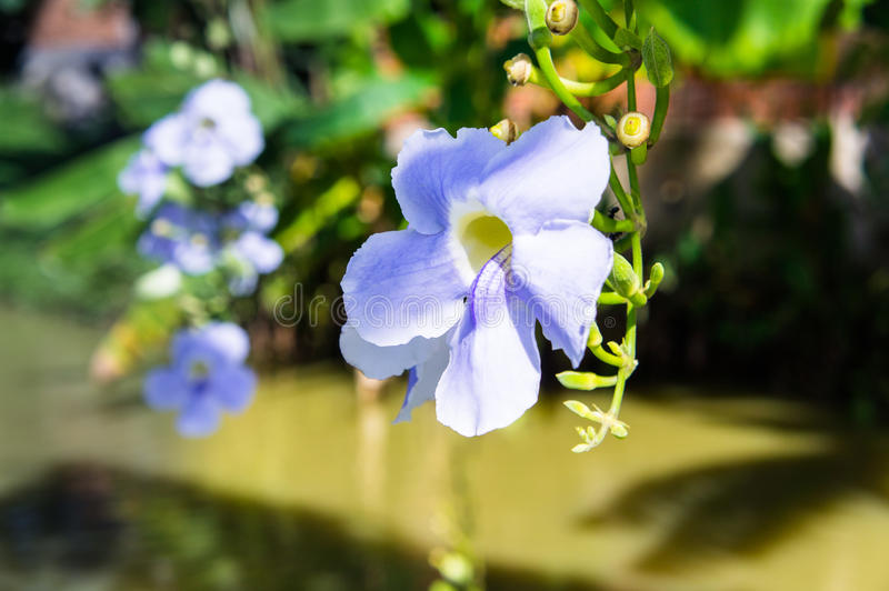 Blue purple soft flower of Laurel vine,Thunbergia laurifolia cold herbs in Asia. Beautiful blue purple soft nice flower of Laurel clock vine, Blue trumpet vine royalty free stock photo