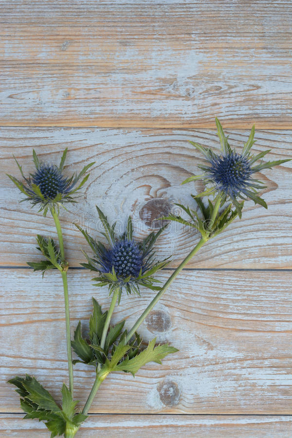 Blue purple thistle sea holly flower plant on a grey wooden empty copy space background with wooden decoration in spring. Blue purple thistle sea holly flower royalty free stock images