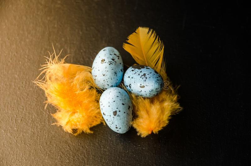 Blue quail eggs on a black background and yellow feathers royalty free stock photo