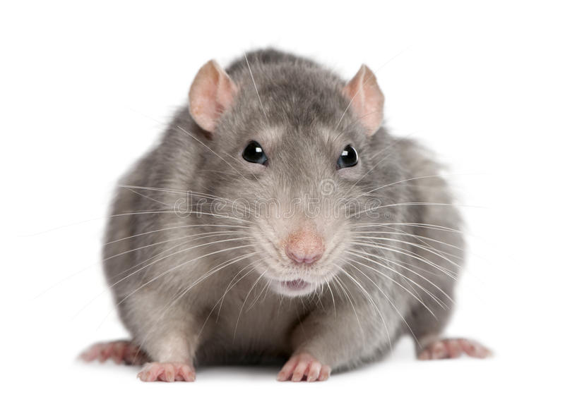 Blue rat. In front of white background